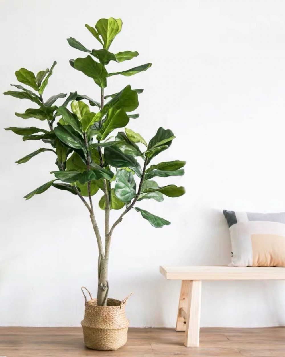 BOTANICA Fig Plant