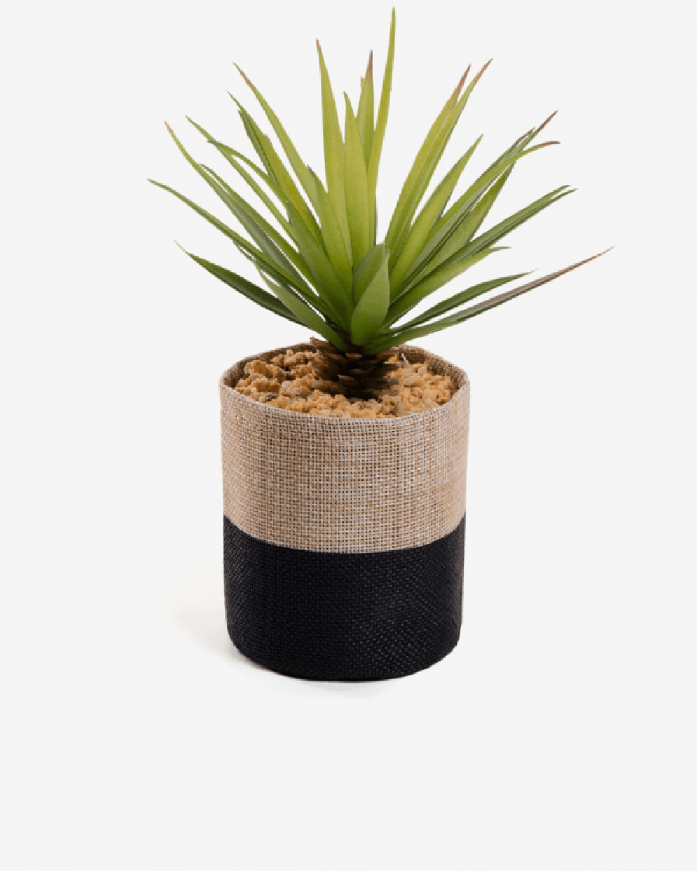 Cassis, small palm in raffia pot